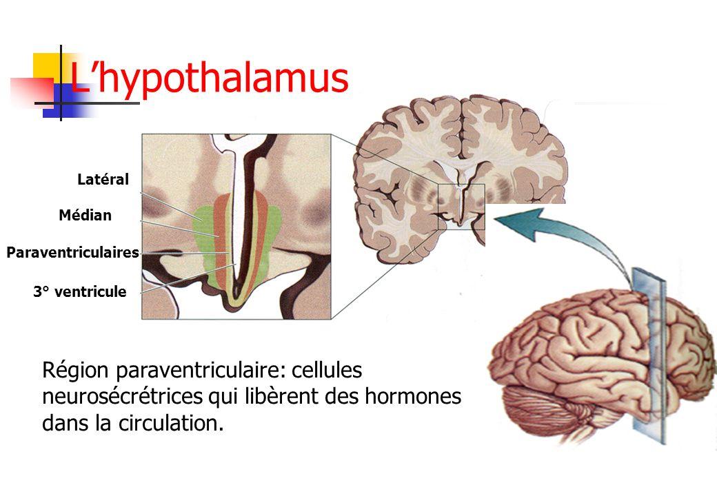 Latéral Médian Paraventriculaires 3° ventricule Région paraventriculaire: cellules neurosécrétrices qui libèrent des hormones dans la circulation. Lhy