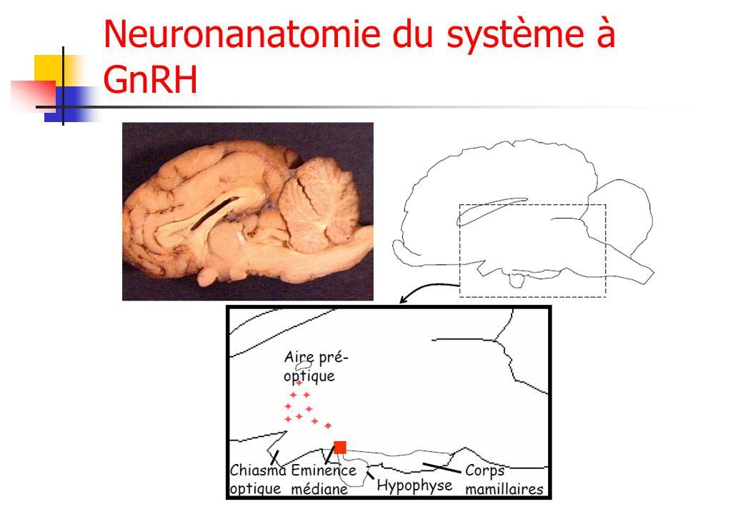 Neuronanatomie du système à GnRH