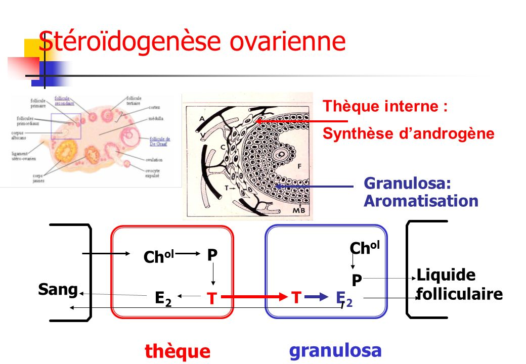 Sang Liquide folliculaire thèque granulosa Ch ol P E2E2 T TE2E2 P Thèque interne : Synthèse dandrogène Granulosa: Aromatisation Stéroïdogenèse ovarien