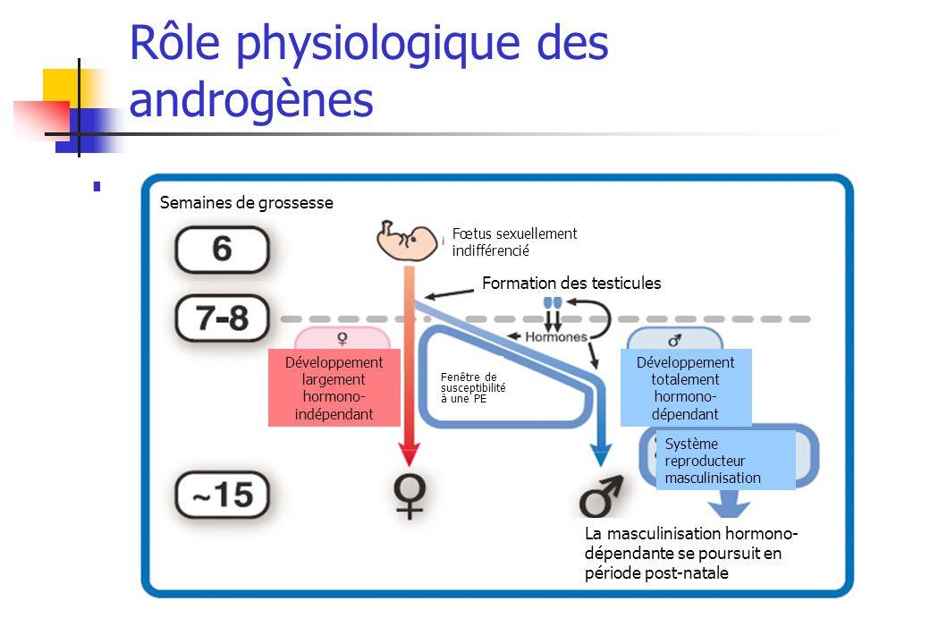 Rôle physiologique des androgènes Différenciation sexuelle du système reproducteur Semaines de grossesse Fœtus sexuellement indifférencié Formation de