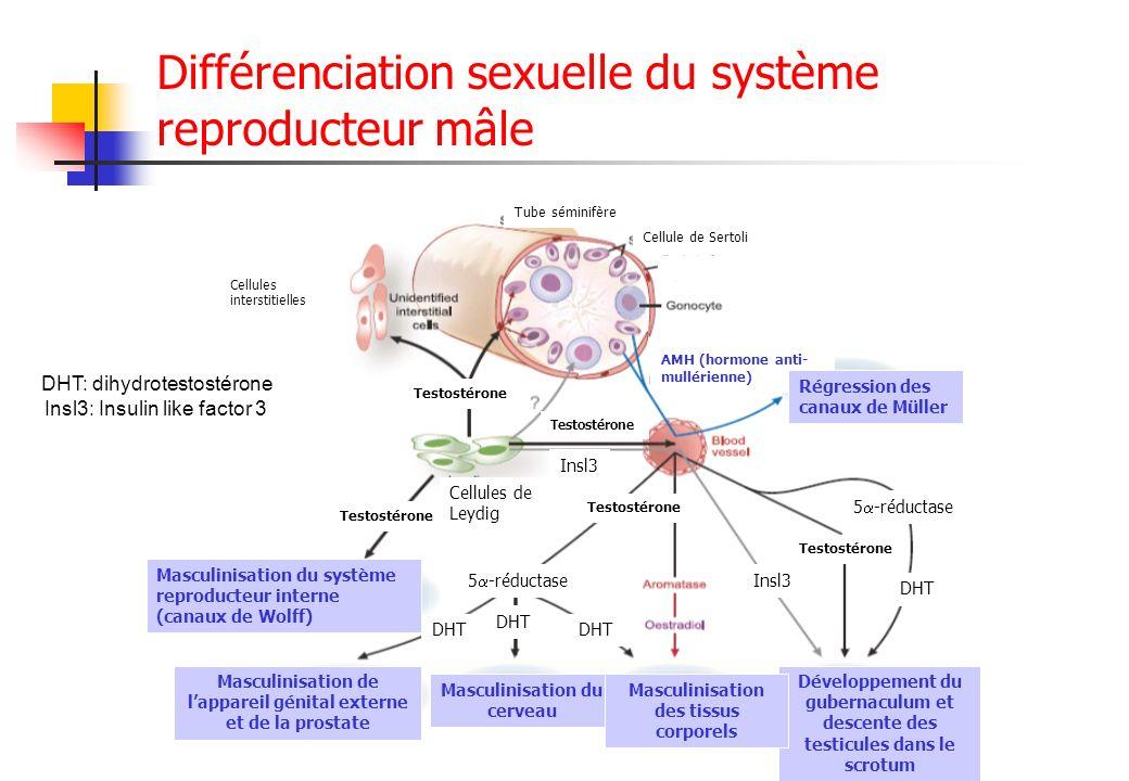 Différenciation sexuelle du système reproducteur mâle Tube séminifère Cellule de Sertoli Cellules interstitielles Testostérone Cellules de Leydig Test