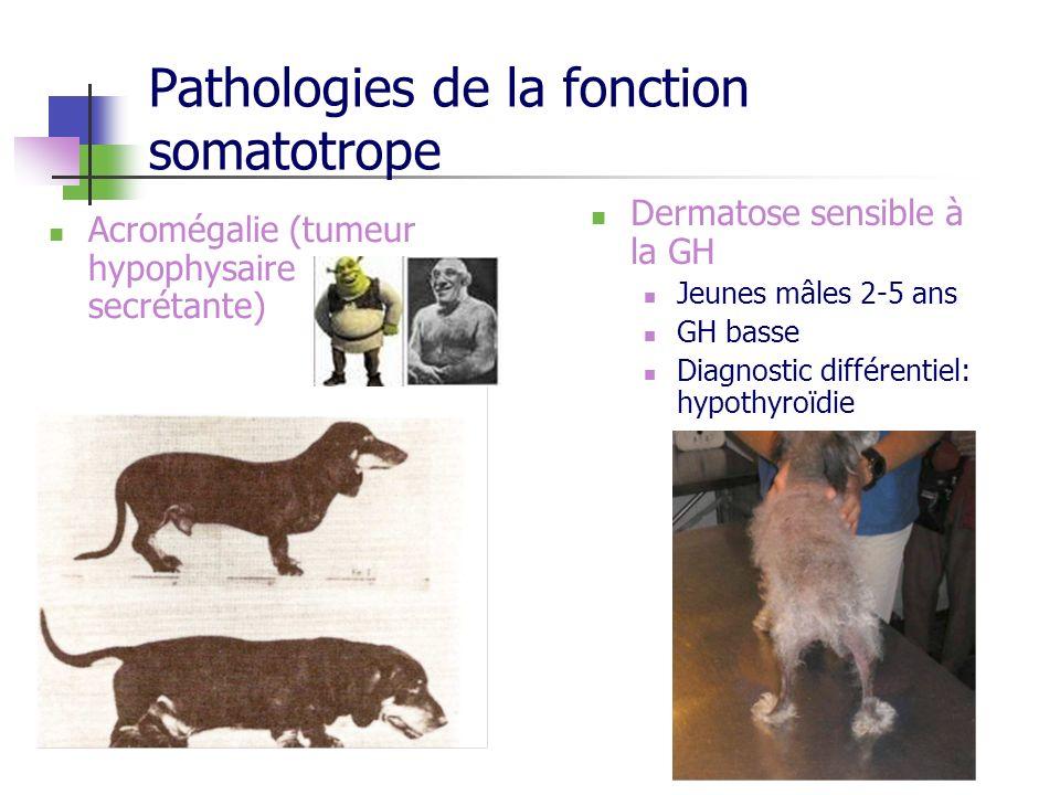 Pathologies de la fonction somatotrope Acromégalie (tumeur hypophysaire secrétante) Dermatose sensible à la GH Jeunes mâles 2-5 ans GH basse Diagnosti