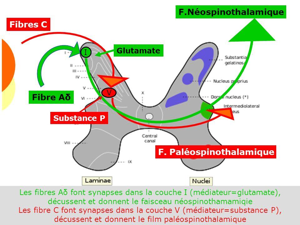 Douleur 2009 34 F.Néospinothalamique V I Fibre Aδ Fibres C F. Paléospinothalamique Glutamate Substance P Les fibres Aδ font synapses dans la couche I