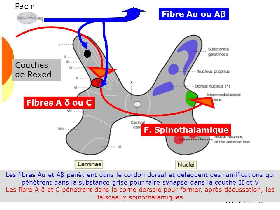Douleur 2009 50 Les fibres Aα et Aβ pénètrent dans le cordon dorsal et délèguent des ramifications qui pénètrent dans la substance grise pour faire sy
