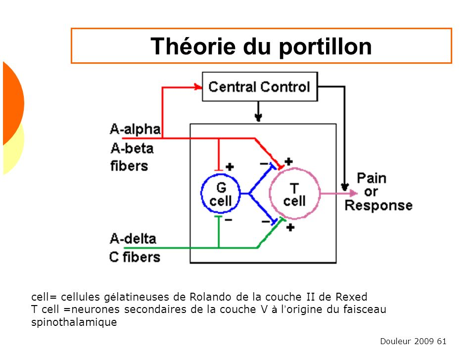 Douleur 2009 61 Théorie du portillon cell= cellules g é latineuses de Rolando de la couche II de Rexed T cell =neurones secondaires de la couche V à l