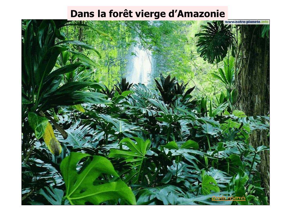 Dans la forêt vierge dAmazonie Droits réservés