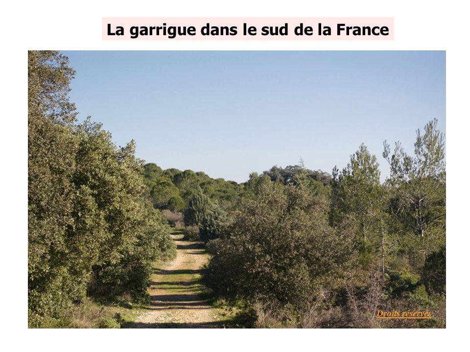 La garrigue dans le sud de la France Droits réservés