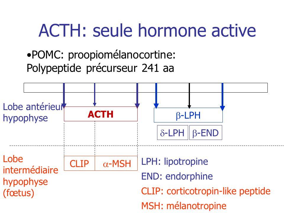 ACTH: seule hormone active POMC: proopiomélanocortine: Polypeptide précurseur 241 aa ACTH CLIP -MSH Lobe antérieur hypophyse Lobe intermédiaire hypoph
