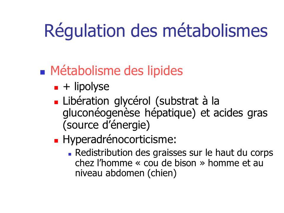 Régulation des métabolismes Métabolisme des lipides + lipolyse Libération glycérol (substrat à la gluconéogenèse hépatique) et acides gras (source dén