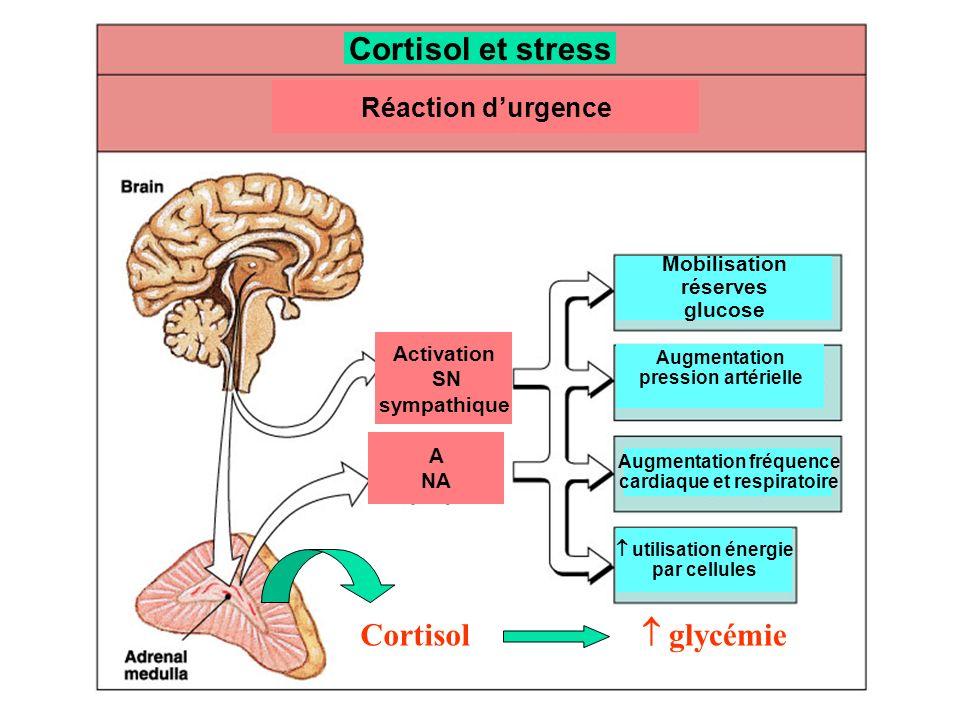 Cortisol et stress Réaction durgence Activation SN sympathique A NA Mobilisation réserves glucose Augmentation fréquence cardiaque et respiratoire uti