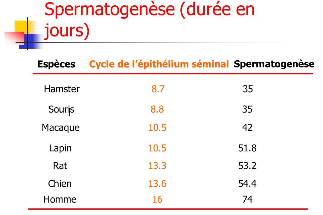 EspècesCycle de lépithélium séminal Spermatogenèse Hamster8.735 Souris8.835 Macaque10.542 Lapin10.551.8 Rat13.353.2 Homme1674 Spermatogenèse (durée en