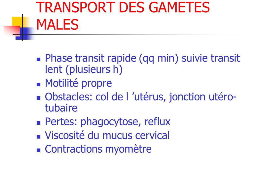 TRANSPORT DES GAMETES MALES Phase transit rapide (qq min) suivie transit lent (plusieurs h) Motilité propre Obstacles: col de l utérus, jonction utéro