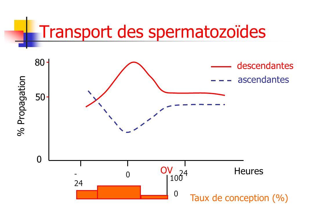 Transport des spermatozoïdes % Propagation 0 50 80 Heures 0 - 24 24 Taux de conception (%) descendantes ascendantes OV 0 100