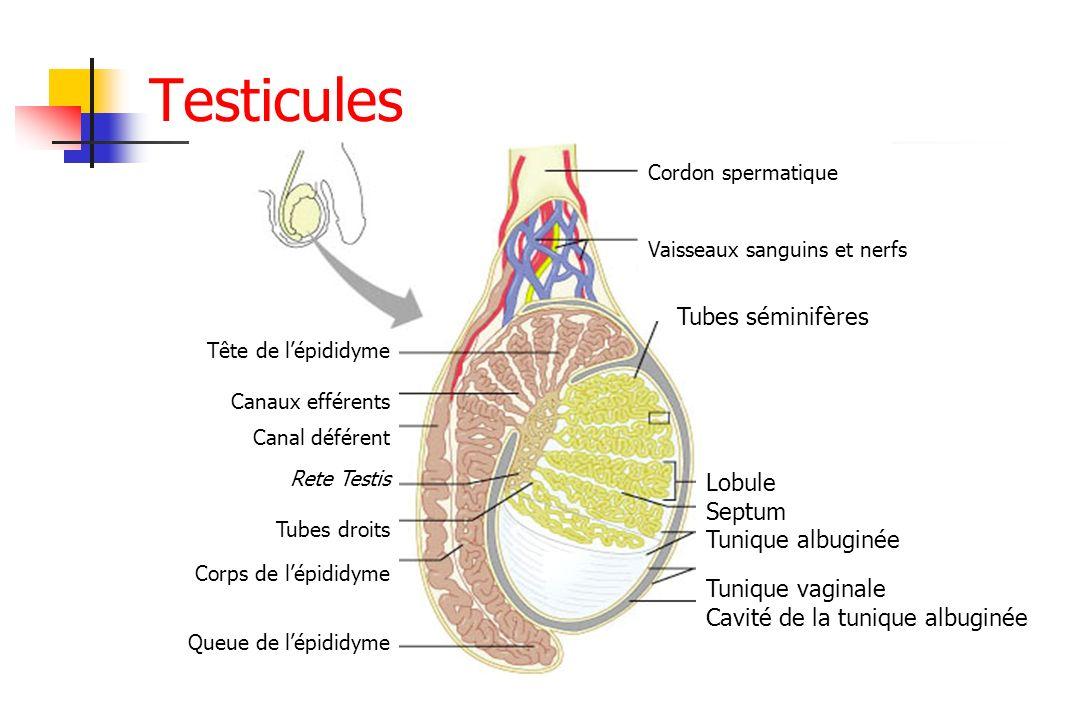 Tête de lépididyme Canaux efférents Canal déférent Rete Testis Tubes droits Corps de lépididyme Queue de lépididyme Cordon spermatique Vaisseaux sangu
