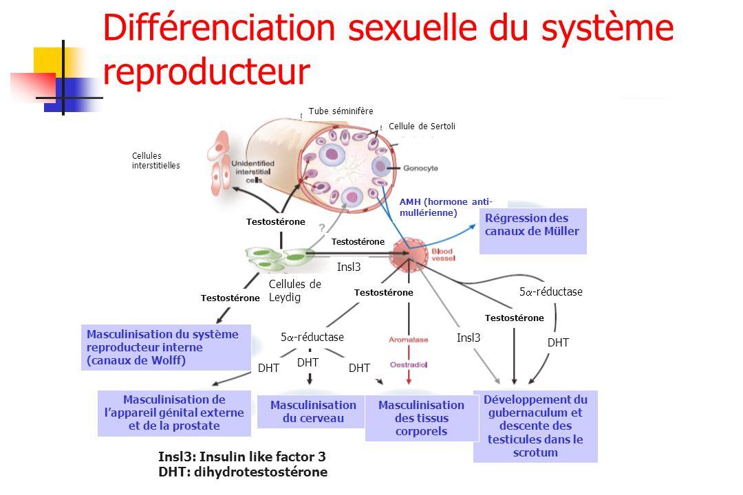 Différenciation sexuelle du système reproducteur Tube séminifère Cellule de Sertoli Cellules interstitielles Testostérone Cellules de Leydig Testostér