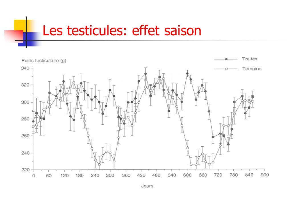 Les testicules: effet saison