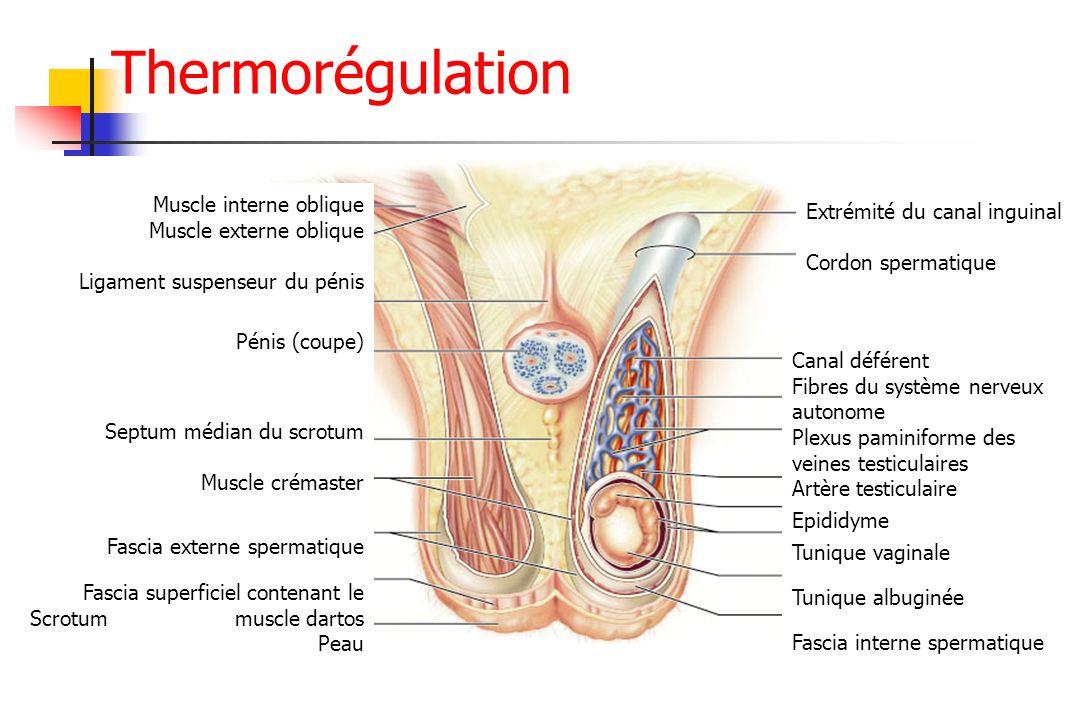 Extrémité du canal inguinal Cordon spermatique Canal déférent Fibres du système nerveux autonome Plexus paminiforme des veines testiculaires Artère te