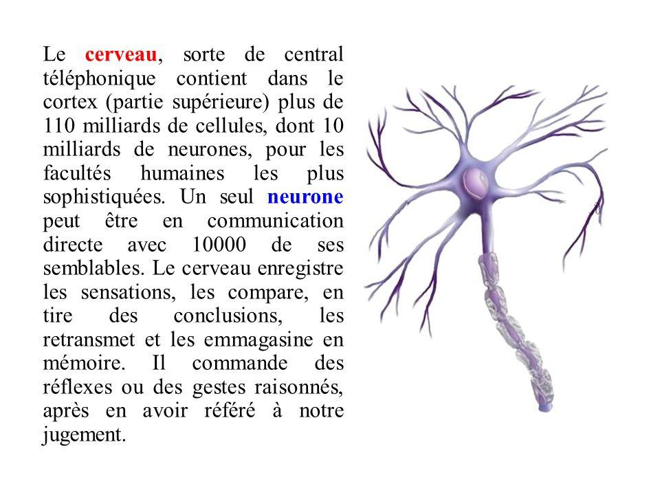 Le cerveau, sorte de central téléphonique contient dans le cortex (partie supérieure) plus de 110 milliards de cellules, dont 10 milliards de neurones