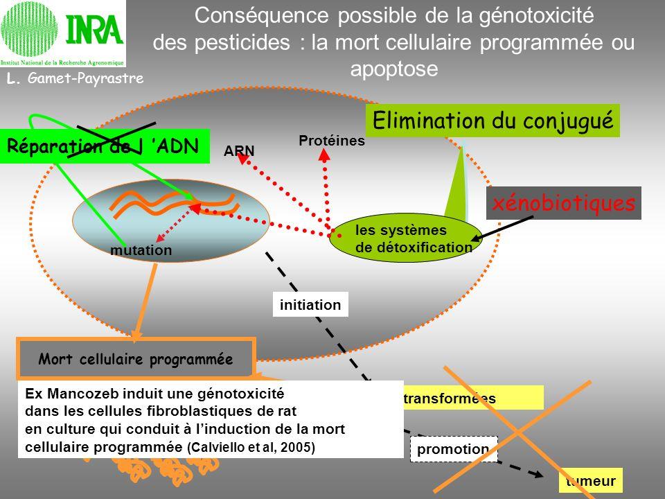 Elimination du conjugué les systèmes de détoxification xénobiotiques mutation Réparation de l ADN Cellules transformées initiation promotion tumeur L.