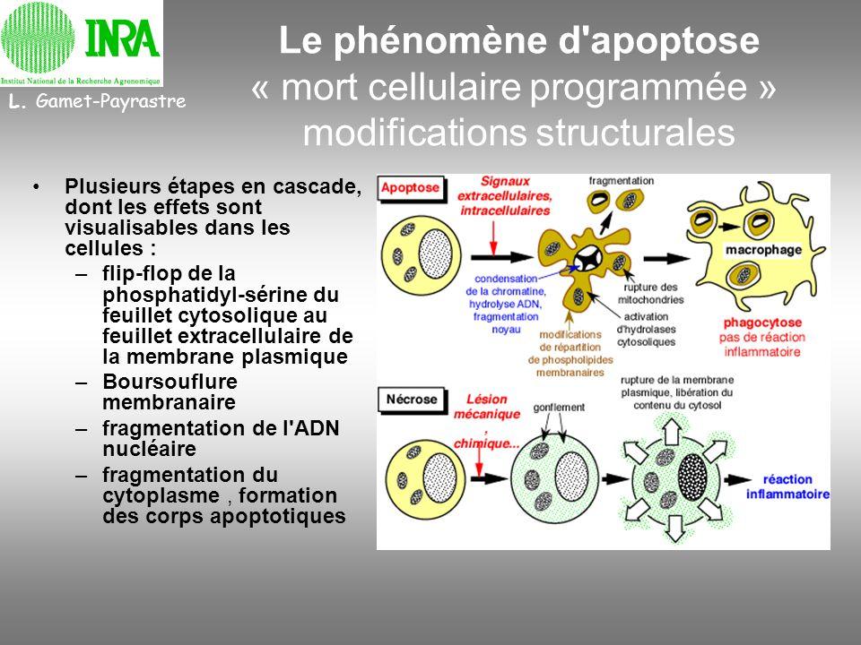 Le phénomène d'apoptose « mort cellulaire programmée » modifications structurales Plusieurs étapes en cascade, dont les effets sont visualisables dans