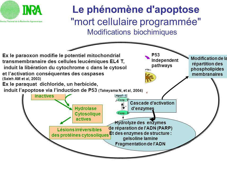 Le phénomène d'apoptose