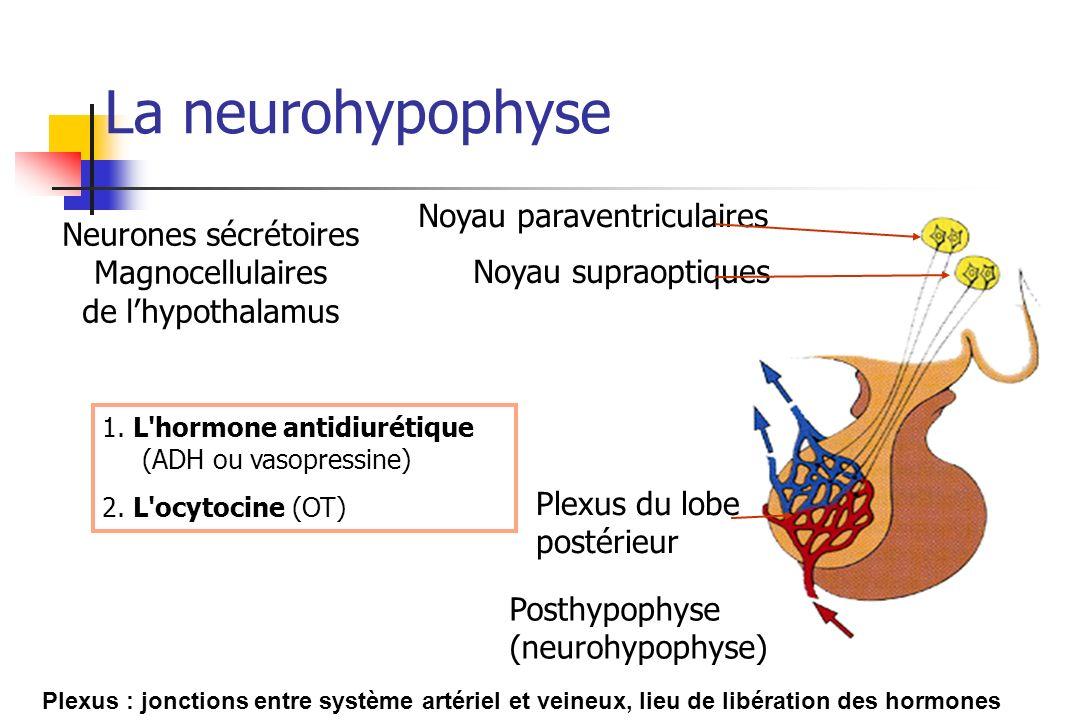 Noyau paraventriculaires Noyau supraoptiques Plexus du lobe postérieur Posthypophyse (neurohypophyse) Plexus : jonctions entre système artériel et vei