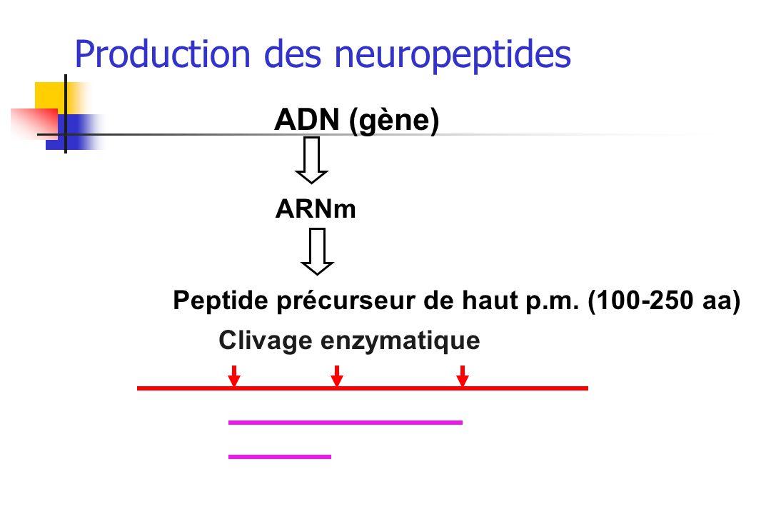 Production des neuropeptides ADN (gène) ARNm Peptide précurseur de haut p.m. (100-250 aa) Clivage enzymatique