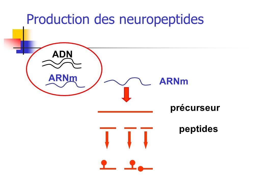 ADN ARNm précurseur peptides Production des neuropeptides