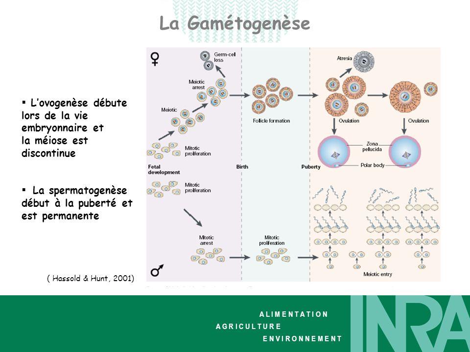 A L I M E N T A T I O N A G R I C U L T U R E E N V I R O N N E M E N T La spermatogenèse Spécificités: Lymphocyte La spermatogenèse a lieu dans les tubes séminifères des testicules pubères.