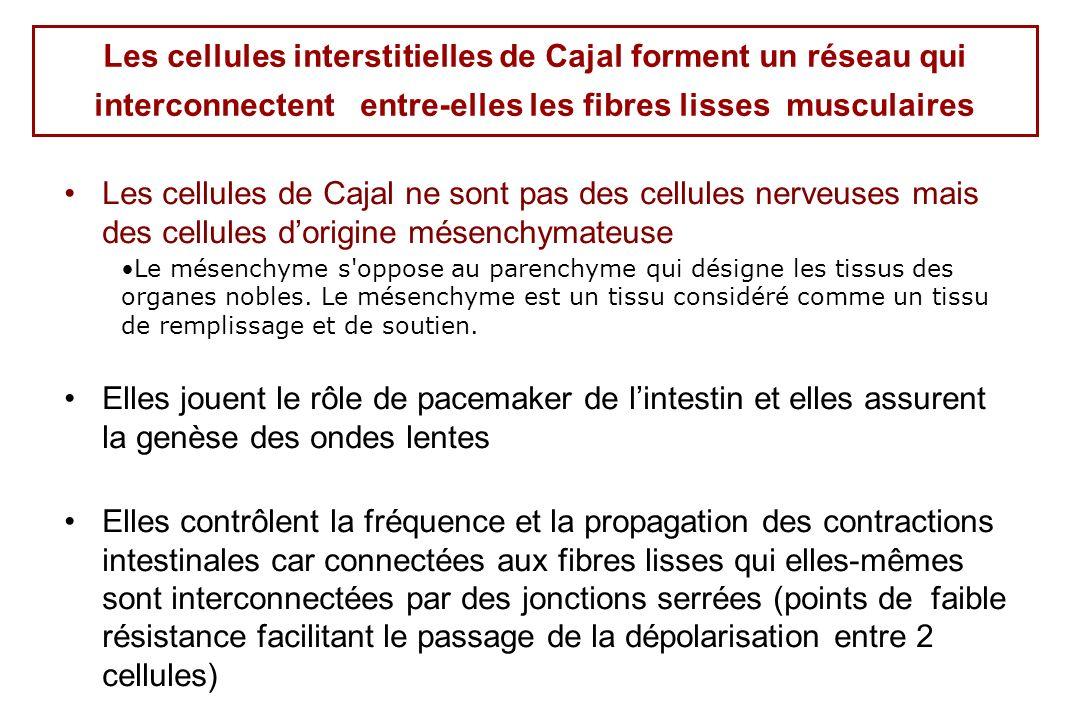 Les cellules interstitielles de Cajal forment un réseau qui interconnectent entre-elles les fibres lisses musculaires Les cellules de Cajal ne sont pas des cellules nerveuses mais des cellules dorigine mésenchymateuse Le mésenchyme s oppose au parenchyme qui désigne les tissus des organes nobles.