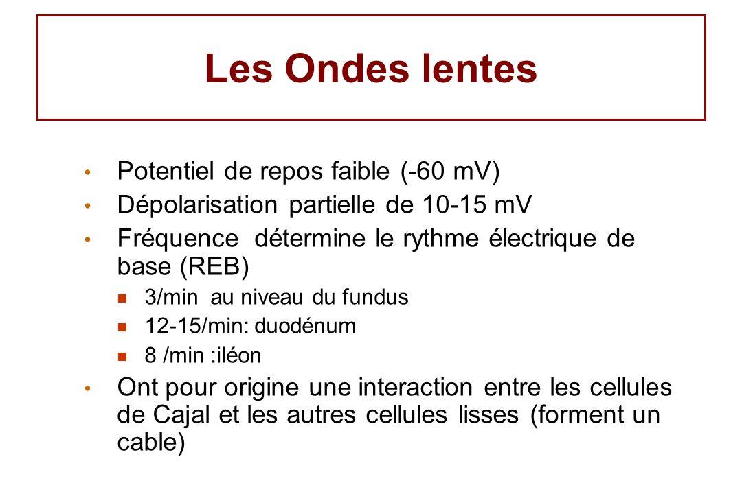 Les Ondes lentes Potentiel de repos faible (-60 mV) Dépolarisation partielle de 10-15 mV Fréquence détermine le rythme électrique de base (REB) 3/min au niveau du fundus 12-15/min: duodénum 8 /min :iléon Ont pour origine une interaction entre les cellules de Cajal et les autres cellules lisses (forment un cable)