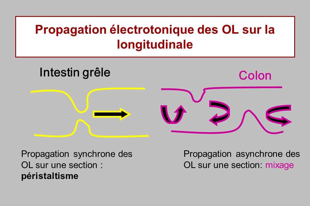 Propagation électrotonique des OL sur la longitudinale Intestin grêle Colon Propagation synchrone des OL sur une section : péristaltisme Propagation asynchrone des OL sur une section: mixage