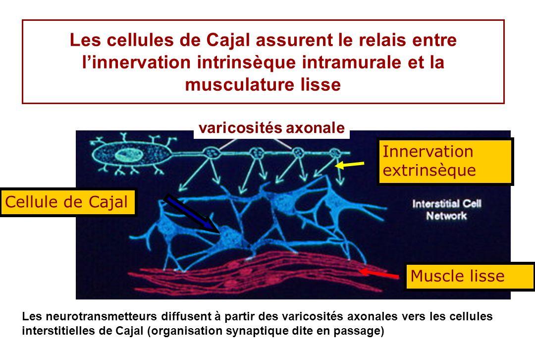 Les cellules de Cajal assurent le relais entre linnervation intrinsèque intramurale et la musculature lisse varicosités axonale Les neurotransmetteurs