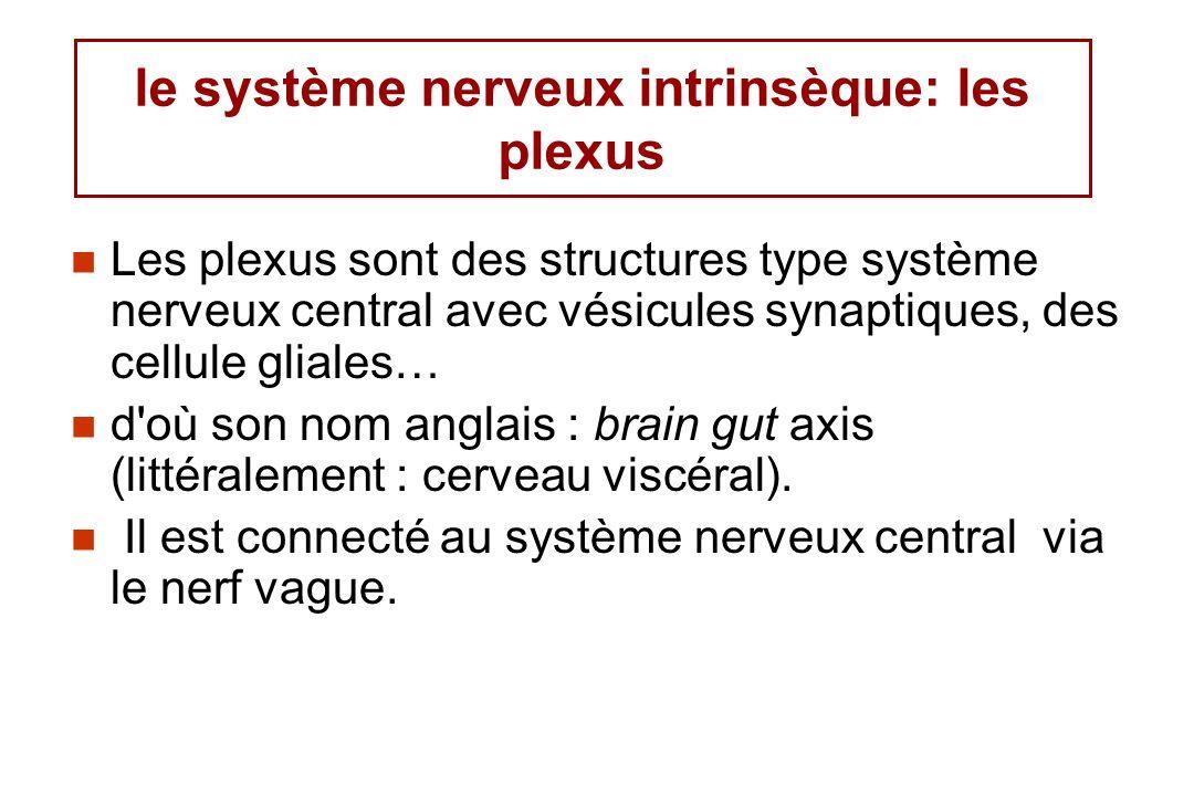 le système nerveux intrinsèque: les plexus Les plexus sont des structures type système nerveux central avec vésicules synaptiques, des cellule gliales… d où son nom anglais : brain gut axis (littéralement : cerveau viscéral).
