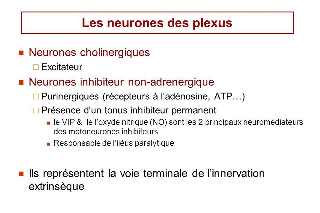 Les neurones des plexus Neurones cholinergiques Excitateur Neurones inhibiteur non-adrenergique Purinergiques (récepteurs à ladénosine, ATP…) Présence