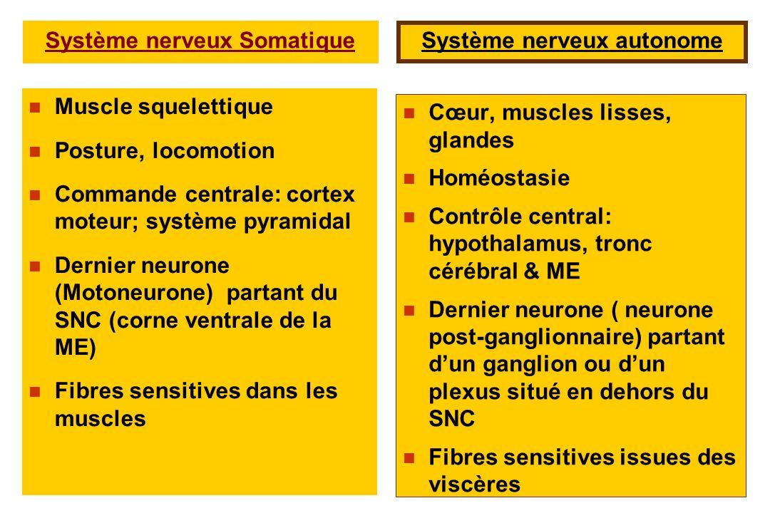 Muscle squelettique Posture, locomotion Commande centrale: cortex moteur; système pyramidal Dernier neurone (Motoneurone) partant du SNC (corne ventra