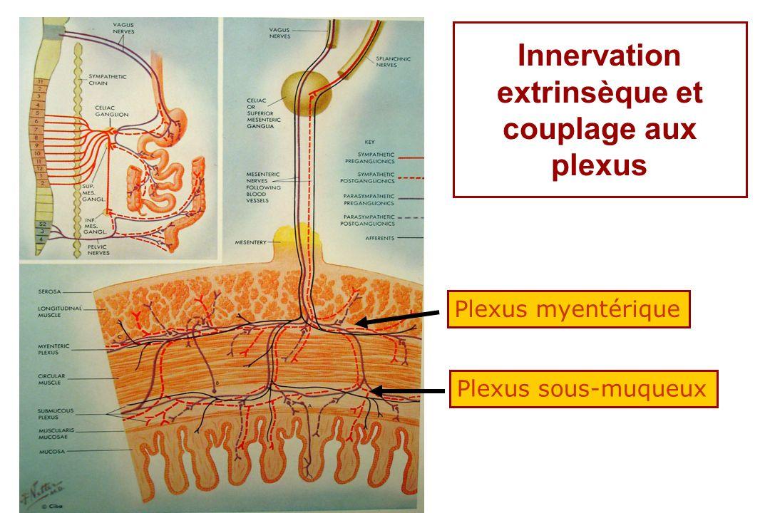 Innervation extrinsèque et couplage aux plexus Plexus myentérique Plexus sous-muqueux
