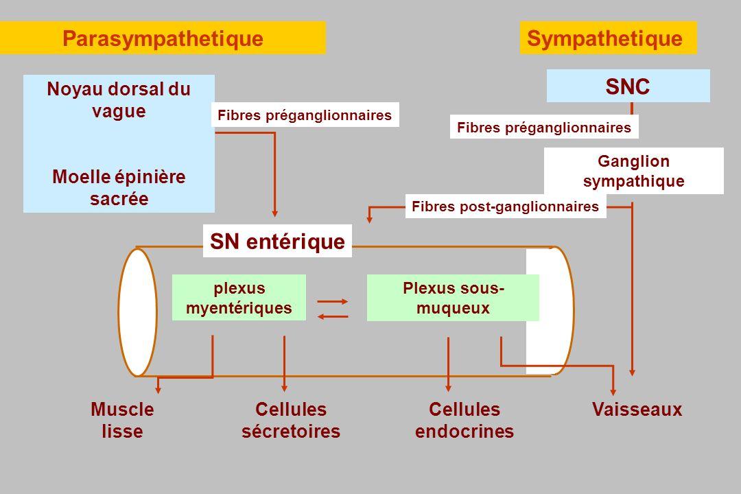 plexus myentériques Plexus sous- muqueux SN entérique SNC Ganglion sympathique Noyau dorsal du vague Moelle épinière sacrée Fibres préganglionnaires F
