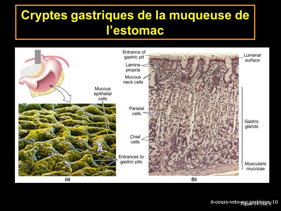 6-cours-veto-suc gastrique -10 Cryptes gastriques de la muqueuse de lestomac Figure 24.13a, b