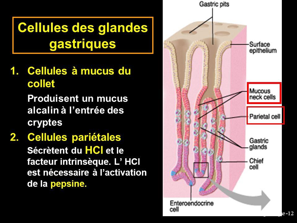 6-cours-veto-suc gastrique -12 1.Cellules à mucus du collet Produisent un mucus alcalin à lentrée des cryptes 2.Cellules pariétales Sécrètent du HCl e
