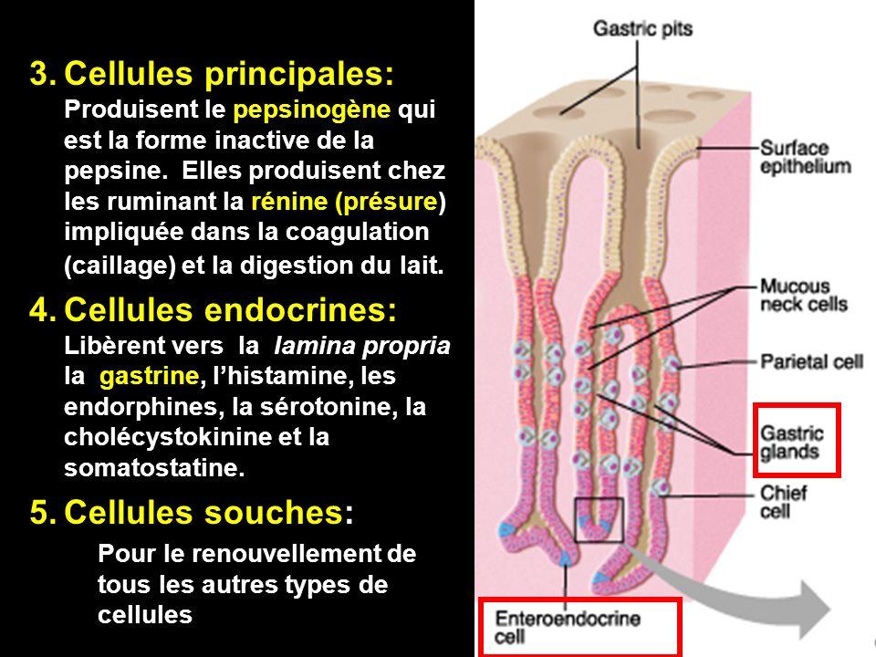 6-cours-veto-suc gastrique -13 3.Cellules principales: Produisent le pepsinogène qui est la forme inactive de la pepsine. Elles produisent chez les ru