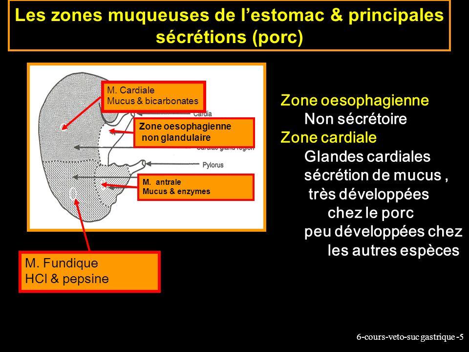 6-cours-veto-suc gastrique -5 Les zones muqueuses de lestomac & principales sécrétions (porc) Zone oesophagienne Non sécrétoire Zone cardiale Glandes