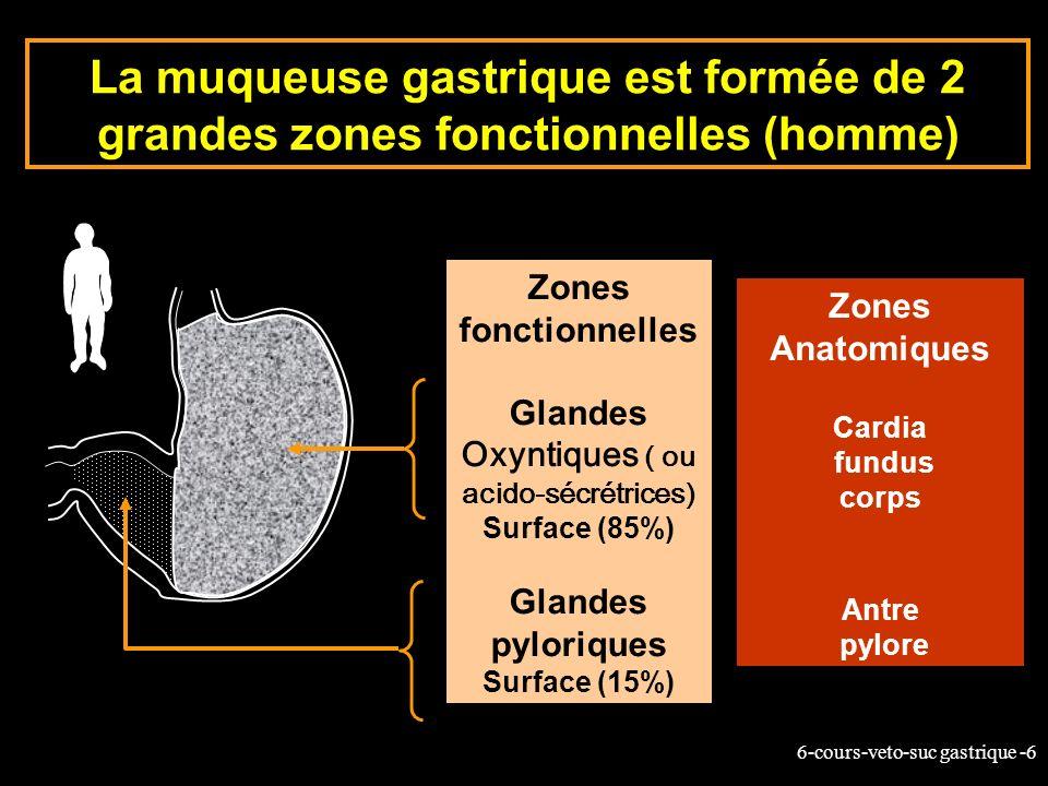 6-cours-veto-suc gastrique -6 La muqueuse gastrique est formée de 2 grandes zones fonctionnelles (homme) Zones fonctionnelles Glandes Oxyntiques ( ou