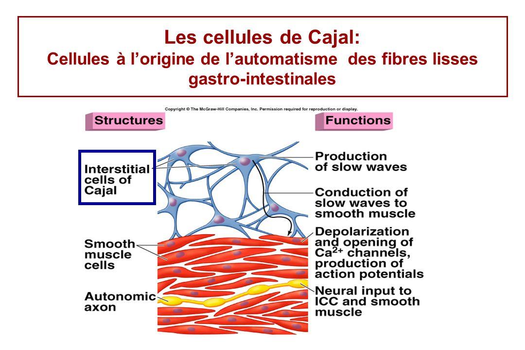 Les cellules de Cajal: Cellules à lorigine de lautomatisme des fibres lisses gastro-intestinales