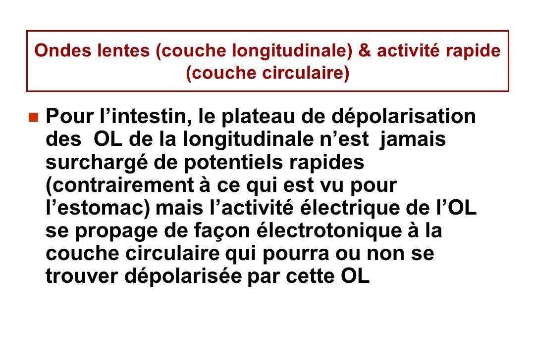 Ondes lentes (couche longitudinale) & activité rapide (couche circulaire) Pour lintestin, le plateau de dépolarisation des OL de la longitudinale nest