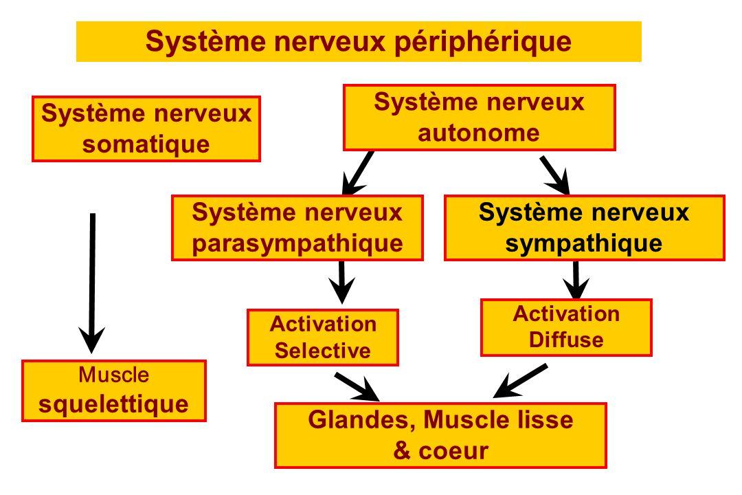 Muscle squelettique Système nerveux périphérique Système nerveux somatique Système nerveux autonome Système nerveux parasympathique Système nerveux sy