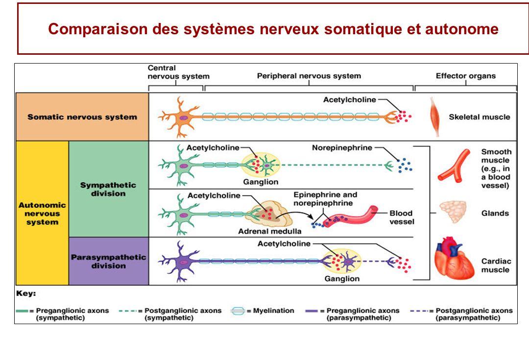 Comparaison des systèmes nerveux somatique et autonome