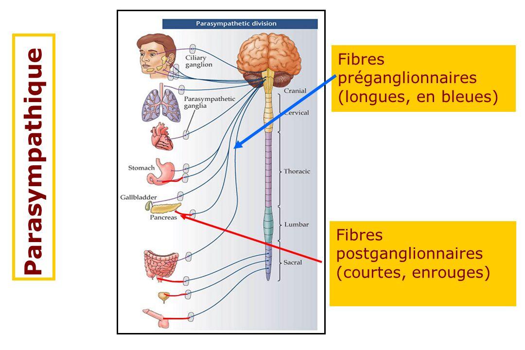 Parasympathique Fibres préganglionnaires (longues, en bleues) Fibres postganglionnaires (courtes, enrouges)