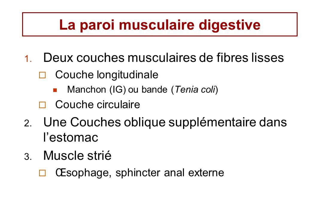 La paroi musculaire digestive 1. Deux couches musculaires de fibres lisses Couche longitudinale Manchon (IG) ou bande (Tenia coli) Couche circulaire 2