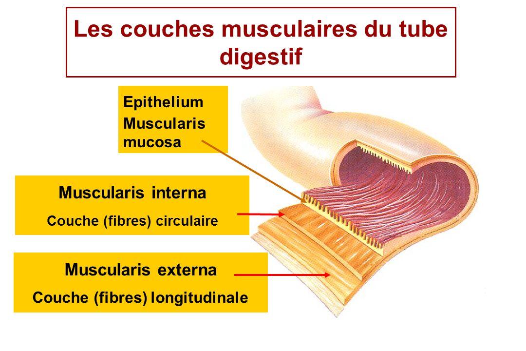 Muscularis externa Couche (fibres) longitudinale Epithelium Muscularis mucosa Muscularis interna Couche (fibres) circulaire Les couches musculaires du